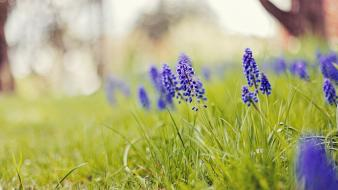 Nature flowers grass depth of field blue hyacinths wallpaper