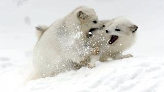 Snow animals arctic fox baby Wallpaper