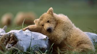 Trees forest animals brown bears wallpaper