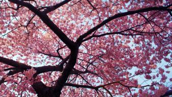 Trees pink cherry tree Wallpaper