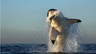 Water jumping sharks predators splashes wallpaper