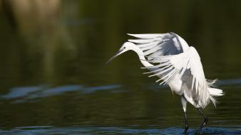 Water snowy egret egrets birds wallpaper