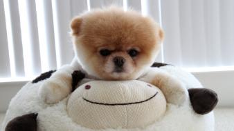 Animals dogs pets pomeranian hugging boo Wallpaper