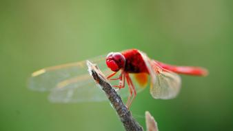 Animals dragonflies wallpaper