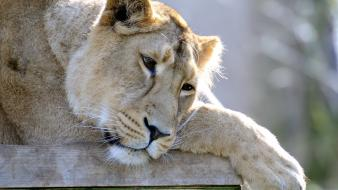 Animals sad lions wallpaper