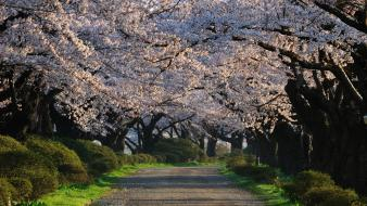 Blossoms flowers path spring (season) flowered trees wallpaper