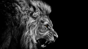 Grayscale yellow eyes lions selective coloring roar wallpaper