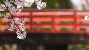 Japan cherry blossoms flowers spring (season) Wallpaper