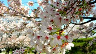 Japan cherry blossoms flowers spring (season) white wallpaper
