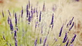 Nature flowers lavender depth of field purple Wallpaper