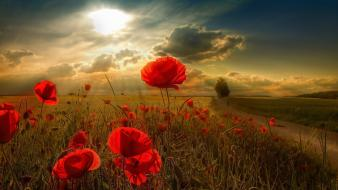 Nature sunlight red flowers poppies wallpaper