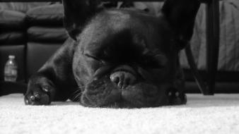 White animals sleeping french bulldog domestic dog Wallpaper