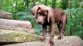 Animals puppies labrador retriever labradors wallpaper