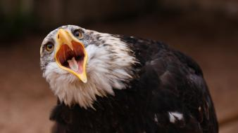 Birds eagles open mouth Wallpaper