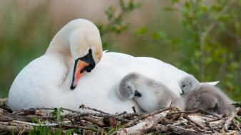 Birds swans baby twig wallpaper
