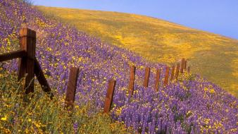 California barbed wire purple flowers wildflowers wallpaper