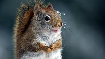 Close-up nature winter animals squirrels Wallpaper