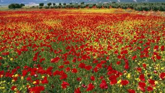 Flowers fields spain red poppies Wallpaper