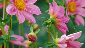 Flowers glow dahlias pink wallpaper
