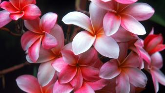 Flowers plumeria wallpaper