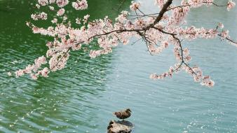 Japan cherry blossoms flowers birds ducks lakes white wallpaper