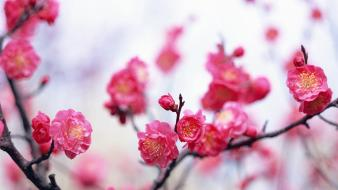 Japan cherry blossoms flowers spring (season) pink Wallpaper