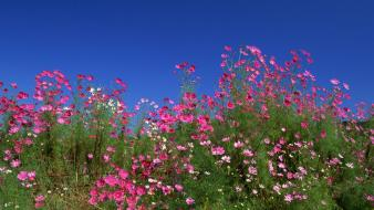 Japan flowers cosmos flower blue skies wallpaper