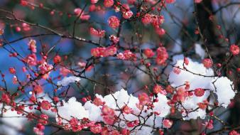 Japan snow cherry blossoms flowers spring (season) pink wallpaper