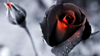 Nature black flowers roses color isolation wallpaper