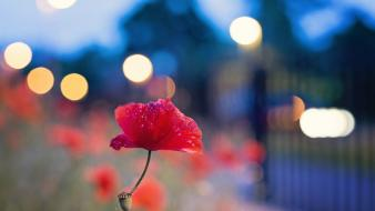 Nature flowers bokeh red poppies blurred background wallpaper