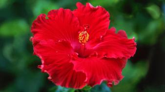 Red flowers hibiscus wallpaper