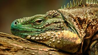 Reptiles iguana wallpaper