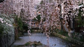 Water japan cherry blossoms flowers spring (season) wallpaper