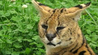 Animals grass outdoors serval Wallpaper