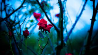 Depth of field roses branches red thorns wallpaper