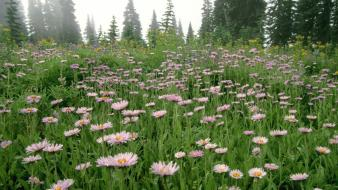 Flowers daisy washington mount rainier wallpaper
