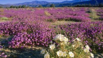 Flowers desert california wallpaper