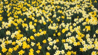 Flowers garden daffodils hillside louisville Wallpaper