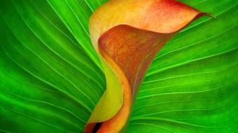 Flowers orange calla wallpaper
