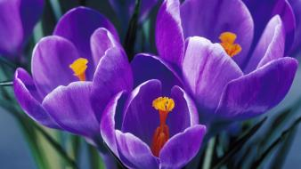 Flowers spring (season) crocus purple wallpaper