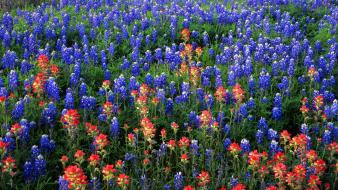 Flowers texas bluebonnet wallpaper