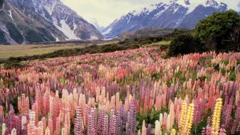 Landscapes flowers new zealand national park mount lupine wallpaper