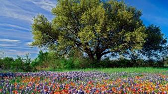 Landscapes nature trees flowers bluebonnet wallpaper