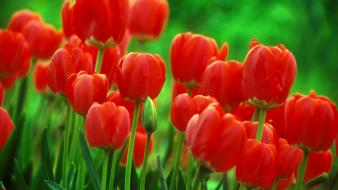 Red flowers tulips wallpaper
