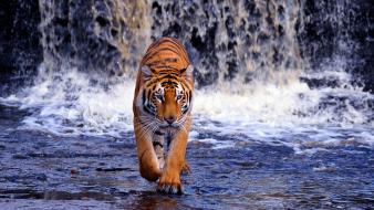 Water animals tigers bengal waterfalls wallpaper