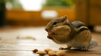 Animals nuts backyard chipmunks wallpaper