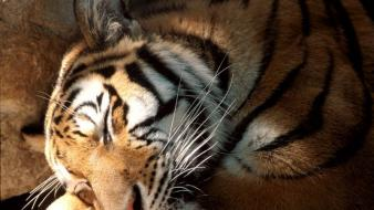 Animals tigers sleeping wallpaper