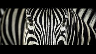 Animals zebras south africa stripes wallpaper