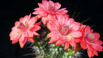 Flowers cactus macro detailed wallpaper