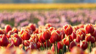 Flowers fields tulips wallpaper